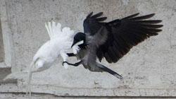 colombe-corbeau